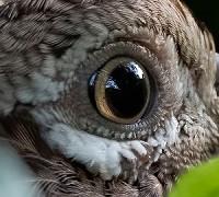 Auge einer Fasanenhenne