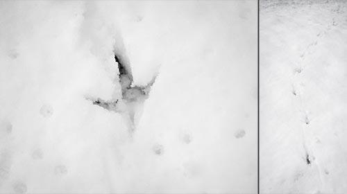 Spuren eines Fasans (Hahn) im Schnee