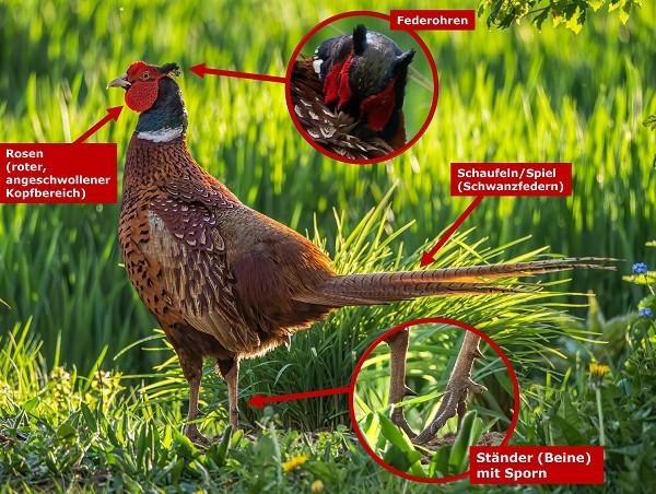 Aussehen des europäischen Jagdfasans (Hahn - Männchen)