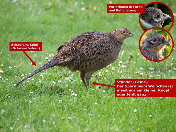Aussehen des europäischen Jagdfasans (Henne - Weibchen)
