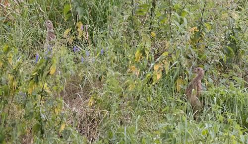 Jungfasane im Gras