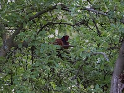 Fasanenhahn auf Schlafbaum