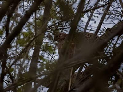 Fasanenhennen auf Schlafbaum