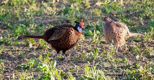 Fasane bei der Balz - Hahn und Henne plustern ihr Gefieder auf und signalisieren gegenseitiges Interesse