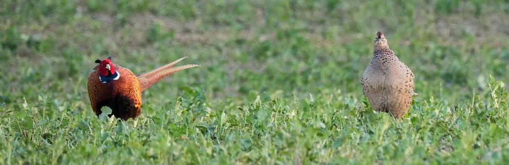 Fasanenhahn balzt Henne durch seitliches Präsentieren aus vorsichtiger Distanz an