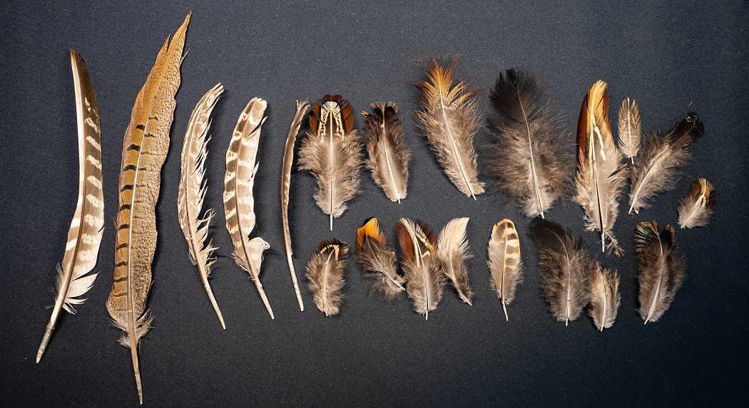 Verschiedene Federn des europäischen Jagdfasans