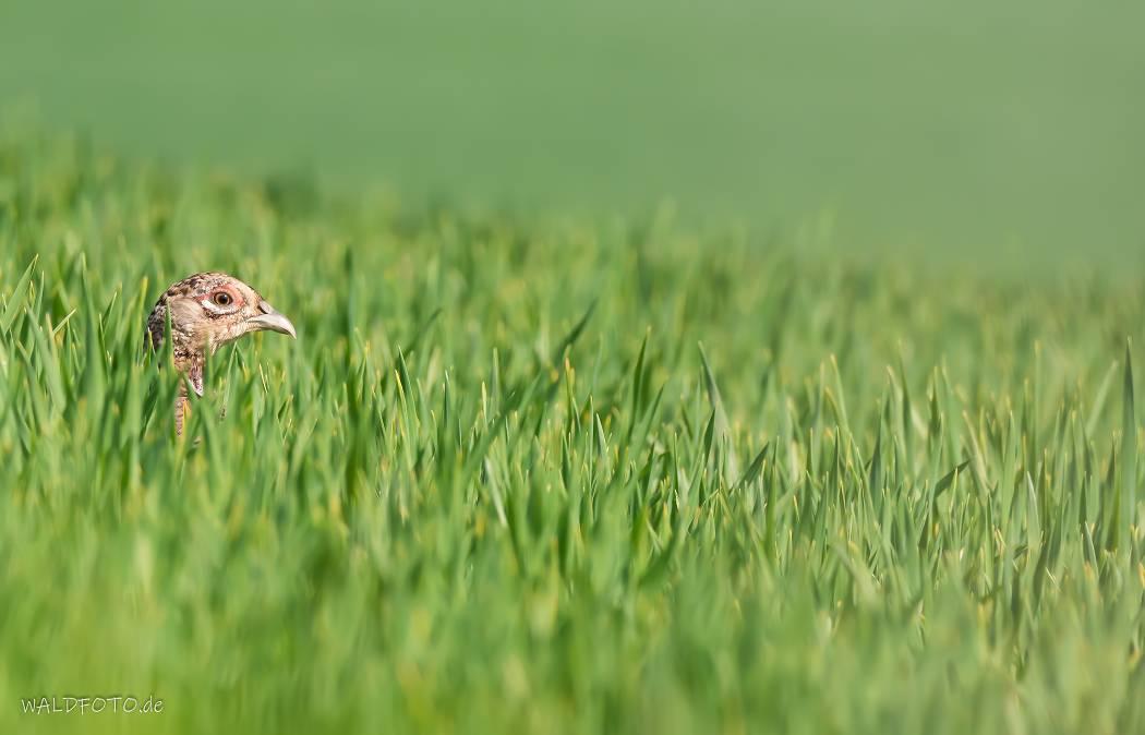 Fasanenhenne minimalistisch im hohen Gras fotografiert