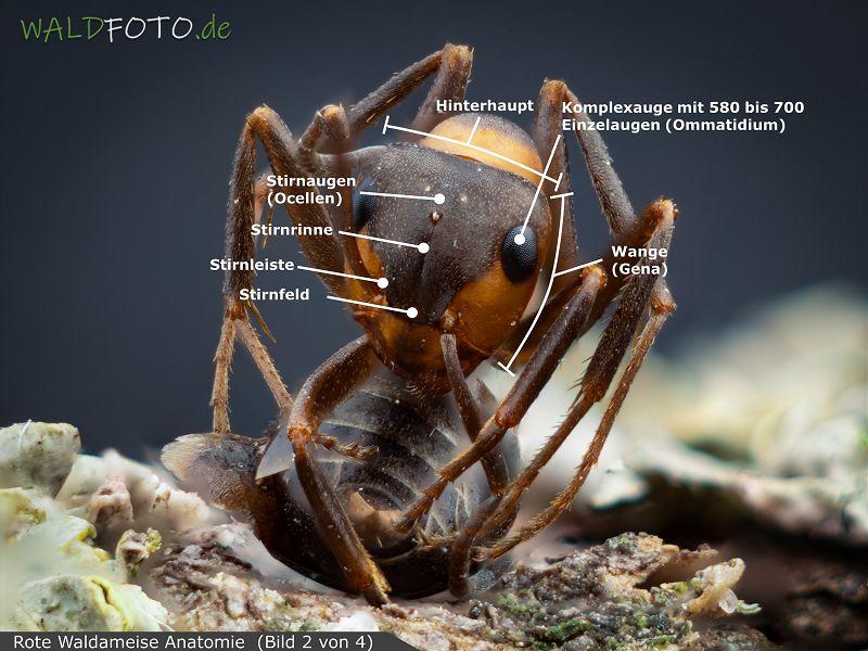 Anatomie der roten Waldameise Bild 2
