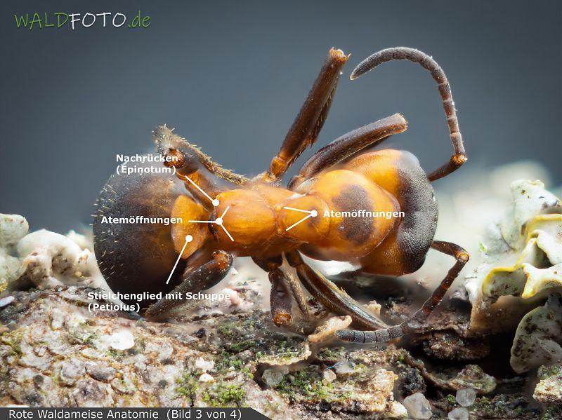 Anatomie der roten Waldameise Bild 3