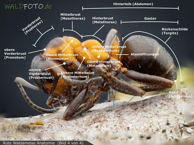 Anatomie der roten Waldameise Bild 4