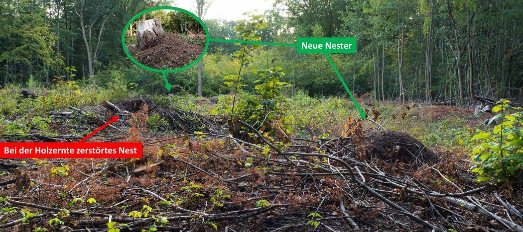 Bei Holzfällerarbeiten zerstörtes Nest und zwei neue Nestgründungen der Formica polyctena