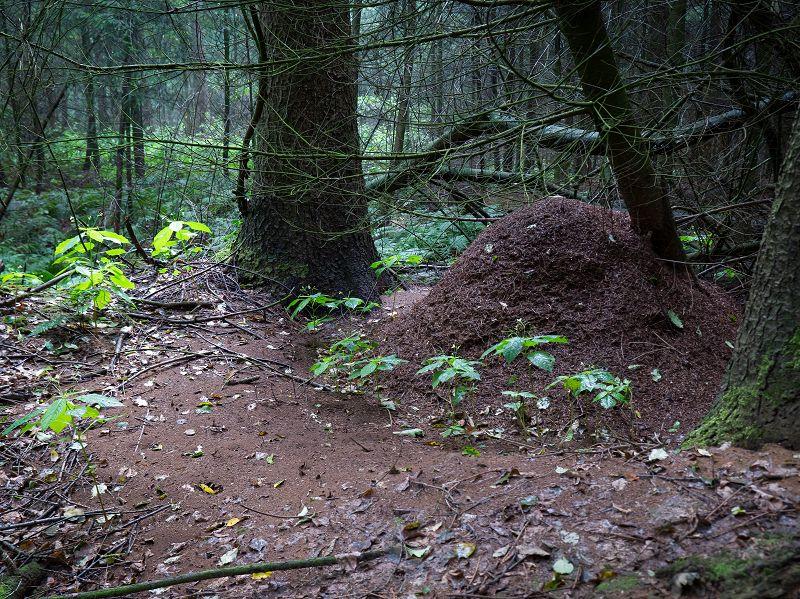 Nest der Roten Waldameise mit weitläufigem Randbereich