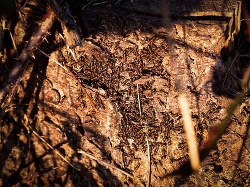 Sonnungstraube der Roten Waldameise im Frühling