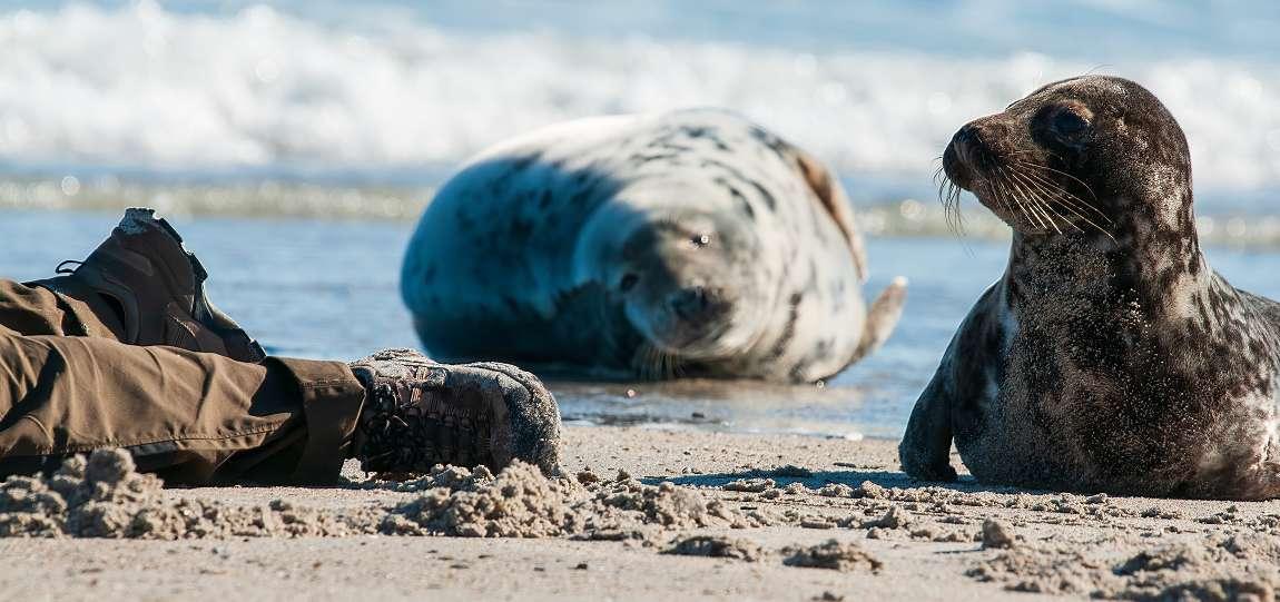 Fotograf kommt Robben beim Fotografieren gefährlich nah